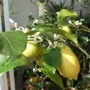 Obilno cvetenje limone, februar 2008