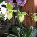 Hvaležni čeveljček, novi in novi cvetovi