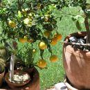 mandarina, prekrasna ko dozori, na žalost pa strašansko grenki plodovi.