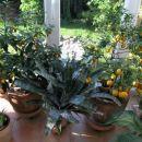 kumkvat in mandarina pred