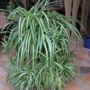 Chlorophytum, močno razvejan