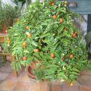 Solanum pseudocapsicum ali Jeruzalemska češnja Izredno dekorativna in hvaležna rastlina,