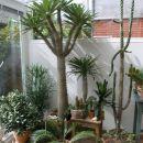 madagaskarska palma kupljena pred 18 leti, takrat velika 15 cm, sedaj lepotička višine 230