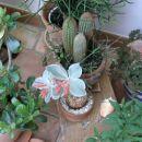 bulba cveti, zraven adenium obesum v popkih, slikano spomladi 2007