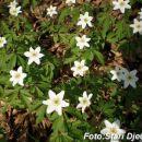 Cvijet Jagode u Mahali kod Kalesije