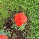 Ruže iz Mahale