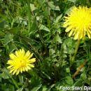 Žuti cvijet Mahala kod Kalesije