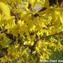 Žuti cvat Mahala kod Kalesije