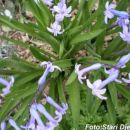Plavo Cvijeće