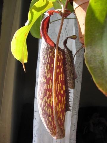 Nepenthesi, mesojedke - foto