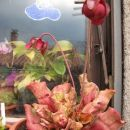 Sarracenia purpurea venosa